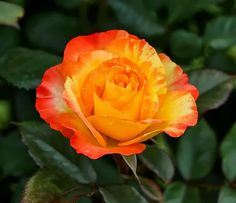 Fantasticvarigated rose and a post about a romantic song... read more!