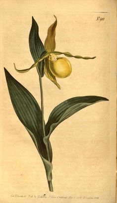 Yellow Ladies Slipper, botanical image, 1806.