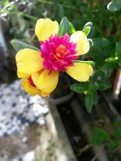 portulaca#japanese rose#