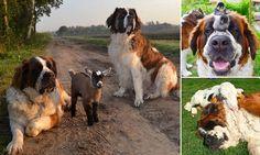 St Bernards adopt an orphaned baby goat