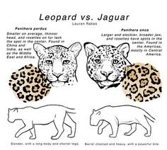 The difference between leopard v jaguar Jaguar Cars, Jaguar Spots, Jaguar Habitat, Gecko Habitat, Jaguar Tier, Leopard Face, Jaguar Leopard, Clouded Leopard, Leopard Shoes