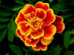 Mexican Cempasúchitl (Marigold), is the traditional flower used to honor the dead.