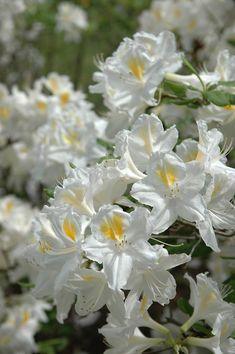 Rhododendron 'Persil'