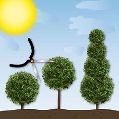 Buchsbäume sind vielseitig und schmücken viele Gärten. Hier erfahren Sie, wie Sie Ihren Buchs mit dem richtigen Schnitt in die gewünschte Form bringen.