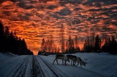 Reindeers, one magical evening in Skellefteå, Swedish Lapland.