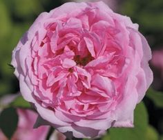 "La Ville de Bruxelles  Old Garden Roses  Damasks  Product Description  A damask rose. One of the most sublime of old roses. Huge, fully double, quartered 3-4"" blooms (petals 40+) of purest pink. Very fragrant. 'La Ville de Bruxelles' produces one of the largest blooms among the old roses. Strong, once blooming upright, spreading plant with great foliage.   Availability: In stock - 17.50  http://www.heirloomroses.com/roses/old-garden-roses/la-ville-de-bruxelles.html#"