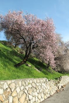 Beautiful Almond Trees in Bloom in Northern Israel!   Just so pretty!