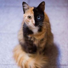 Meet Quimera, a Chimera cat with striking markings.