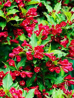 'Red Prince' weigela  Weigela florida 'Red Prince' produces red flowers on arching stems in late spring then again in late summer. It grows 5-6 feet tall and 4-5 feet wide.