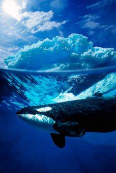 Mörder-Wal, Unter Wasser