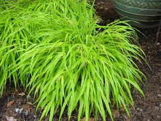Good shot of 'All Gold' Japanese forest grass (Hakonechloa 'All Gold') - an excellent shade grass for adding 4 season color. Even the tan, dried out winter leaves blow in the breeze.