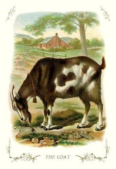 Goat on a farm. High quality vintage art reproduction by Buyenlarge. One of many rare and wonderful images brought forward in time. I hope they bring you pleasure each and every time you look at them.
