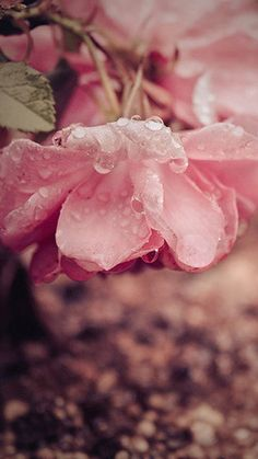 Spring rain on the rose Pretty In Pink, Beautiful Flowers, Everything Pink, Gras, Belle Photo, Mother Nature, Spring, Dew Drops, Pink Flowers