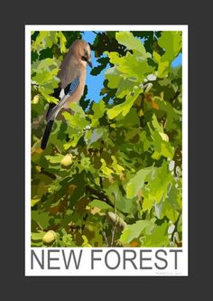 Jay feeding on Acorns in the New Forest (Art Print)