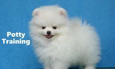 How To Potty Train A Pomeranian Puppy - Pomeranian House Training Tips - Pomeranian Puppies