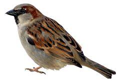 fugle156.png - Klik for at se i normal størrelse
