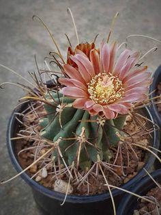 Ancistrocactus uncinatus var wrightii Cacti And Succulents, Cactus Plants, Cactus Flower, Flower Pots, Cactus Names, Growing Blueberries, Desert Plants, Cactus Y Suculentas, Companion Planting