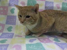 Adopted/rescued! TO BE DESTROYED 4/10/14 Manhattan Center  My name is OLIVER. My Animal ID # is A0995308. I am a male org tabby and white domestic sh mix. The shelter thinks I am about 2 YRS old.  OWNER SUR on 03/31/2014  https://www.facebook.com/nycurgentcats/photos/pb.220724831278845.-2207520000.1397134019./770616276289695/?type=3&src=https%3A%2F%2Fscontent-a.xx.fbcdn.net%2Fhphotos-prn1%2Ft1.0-9%2F10246249_770616276289695_3175803495508667280_n.jpg&size=640%2C480&fbid=770616276289695