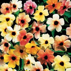 Black Eyed Susan Vine - Use on balcony to add color and create privacy screening