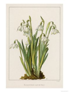 Cluster of Living Snowdrops