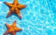 two orange Starfish in shallow crystal blue  water wallpaper