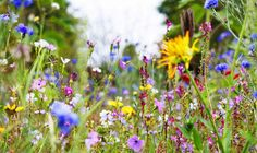 Wild flower meadows don't need watering and make the perfect home for pollinating insects