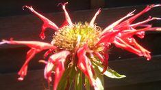 MONARDE : une variante pour la vie en rose ! Flowers, Plants, Gardens, Herbal Plants, Plant, Royal Icing Flowers, Flower, Florals, Floral
