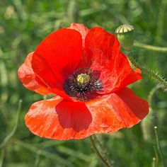 https://flic.kr/p/uKifJu | Somme poppy | The poppies were in abundance on the Somme battlefield sites...a poignant yet wonderful sight.