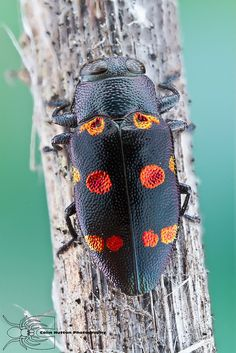 #pestcontrol Montreal photo: Metallic Wood Boring Beetle - Chrysobothris…