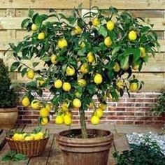 Indoor citrus trees and other dwarf fruit trees are great houseplants that can brighten up a room during the cold winter months. Dwarf fruit trees produce edible fruit and are typically easy to grow. Check out five common indoor fruit trees here. Garden Trees, Garden Plants, Indoor Plants, Patio Plants, Backyard Trees, Indoor Trees, Indoor Outdoor, Potted Trees Patio, Potted Fruit Trees