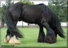 Beauty in Black Clydesdale horse. Im in love. I want Him!
