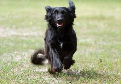 Cute Black Spaniel running on the grass. Oh Hey April, We Meet Again!  #dogs #doglovers #pets #puppy #puppies #animals #cute #cuteanimals #April #spring #Spaniel #dogbreed #amazing #love #sunshinepet