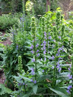 Lobelia siphilitica - Great blue lobelia, this wonderful blue flowering northeast native relative of cardinal flower attracts hummingbirds and butterflies.  USDA Zones 4-8  Austin Ganim Landscape Design, LLC