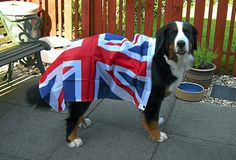 Isa, a 14 month Bernese Mountain Dog, gets ready for the Jubilee celebrations.