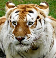 The Golden Tabby Tiger, also known as the Strawberry Tiger, is very rare and there are only 30 of them in captivity. The extremely rare color variation is caused by a recessive gene and is currently only found in captive tigers. In addition to the strange coloring, these tigers tend to be larger and have thicker fur.  (via le-mocha)