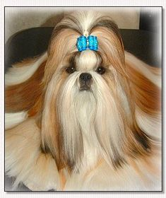 "Shih Tzu- BIS Am, Int, CH Mr. Foo's Luck of the Draw ""Jack"