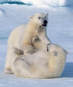 Chubby polar bears
