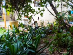 📸🕸 Black-Legged Golden Orb-Web Spider from Cape Town, South Africa Cape Town South Africa, Small Birds, Spiders, Wildlife Photography, Outdoor Activities, Habitats, Nature, Plants, Photos