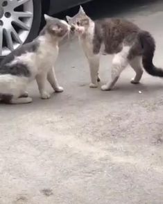 Funny Animal Jokes, Funny Cute Cats, Cute Funny Animals, Animal Memes, Cute Baby Animals, Animals And Pets, I Love Cats, Crazy Cats, Video Chat