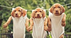 dogs hanging on clothesline | Three brown puppies hanging on a rope.