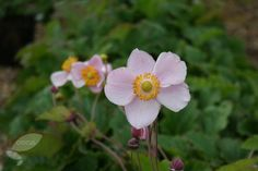Buy Japanese anemone Anemone × hybrida 'September Charm': Delivery by Crocus.co.uk
