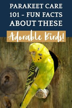 """"""""""" Parakeet Care 101 – Fun Facts About These Adorable Birds! Fancy Parakeet, Parakeet Names, Parakeet Colors, Parakeet Food, Budgie Parakeet, Monk Parakeet, Cockatiel, Parakeets As Pets, Pets"""