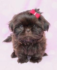 Chocolate Shih Tzu Puppy by TeaCupsPuppies.com