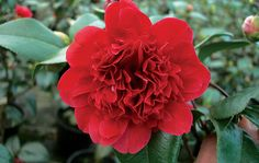 Top tips on camellias - Garden Design Journal