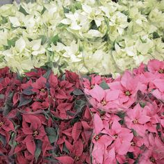 Christmas prep is well underway at New Covent flower Market. Poinsettia Euphorbia can be found in abundance as we rapidly head towards the festivities...