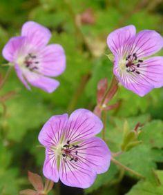 Geranium Hybride 'Sweet Heidy' ® - Storchschnabel