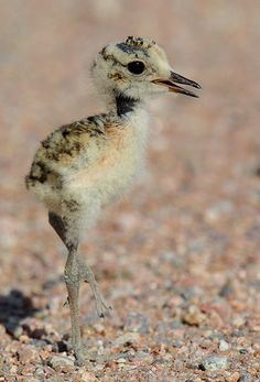 Mountain Plover chick. On Canada's endangered species list