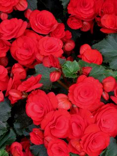 Nonstop Red Begonia. I've grown several Nonstop specimens: their color is extremely vivid!