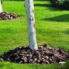 """Did you know that you should always mulch your trees after they are planted? Not only will it make your tree stand out, but mulch is important to retaining moisture in the soil and preventing the spread of disease.  #MondayProtip"""
