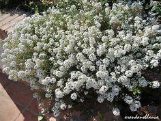arbustosensevilla-encinarosa: Alysson maritimum  -  Lobularia marítima  -  Cesta...